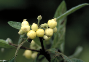 Psychotria loniceroides
