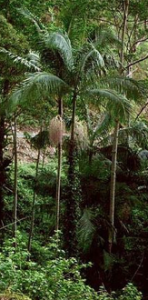 Bangalow Palm2