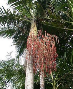 Bangalow Palm1