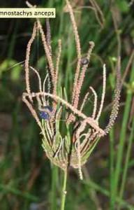 Settlers Flax1