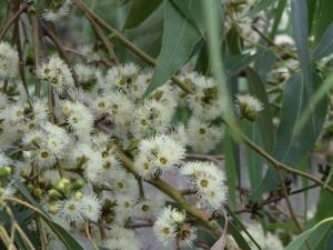 eucalyptus robusta-flowers
