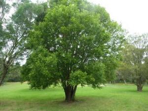 glochidion-ferdinandi_cheese-tree_007
