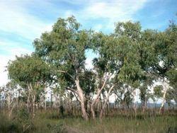500x333 Euc-ban trees-001