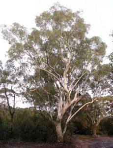 scr-gum tree