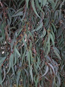 scr_gum leaf